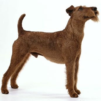 Terrier breeds beginning with p