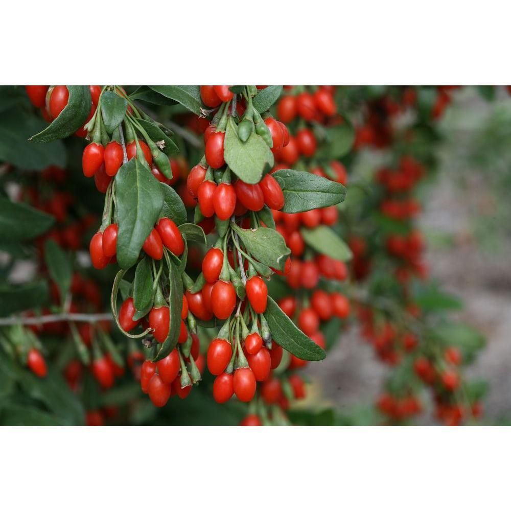 Proven winners in qt sweet lifeberry goji berry lycium live