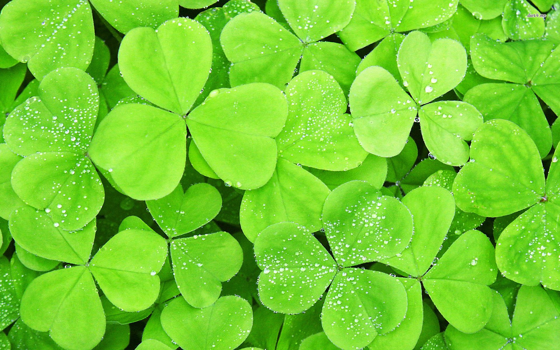 Four Leaf Clover Wallpapers Wallpaper Cave St Patrick Facts St Patrick S Day Wood Sorrel