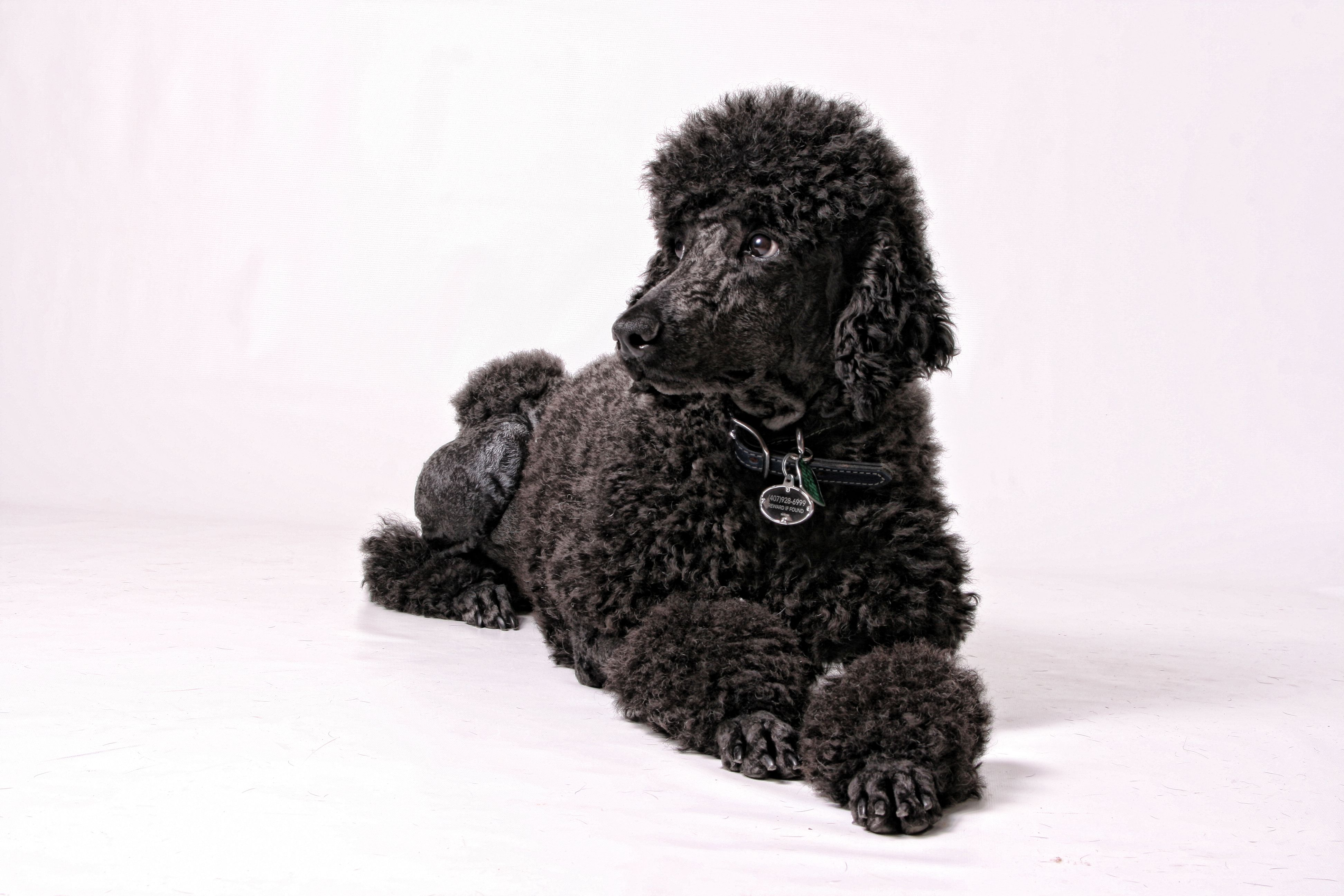 Standard Poodle Bradley Poodle Dogs Animals