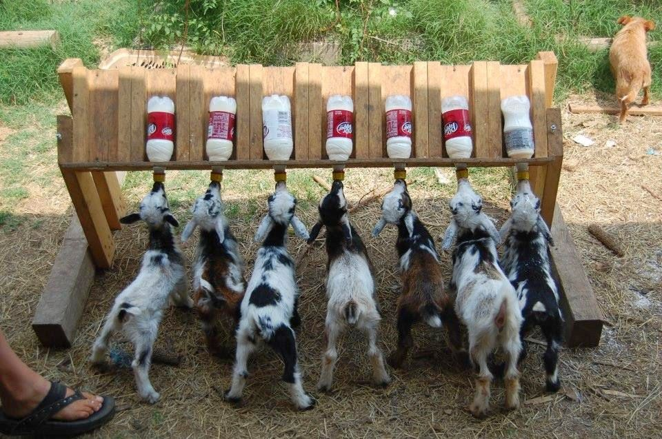 #goatvet likes this Multiple Kid Feeder that holds multiple bottles and teats