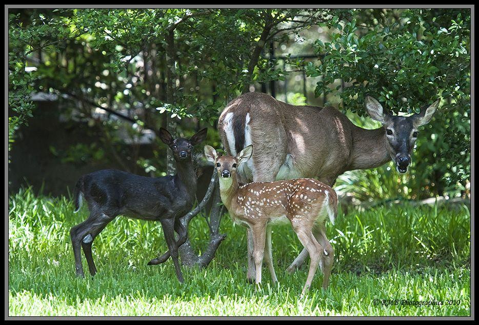 Very Rare Real Photos Of A Black Fawn Melanistic Animals Black Deer Rare Animals