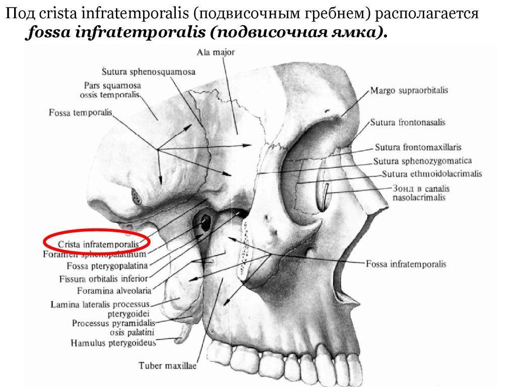 att u0113lu rezult u0101ti vaic u0101jumam  u201cfossa retromandibularis blood