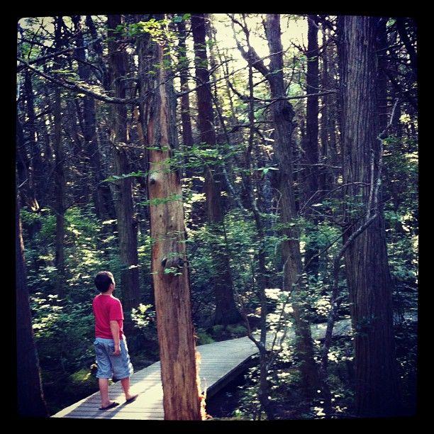 Atlantic White Cedar Swamp Trail White Cedar Trail