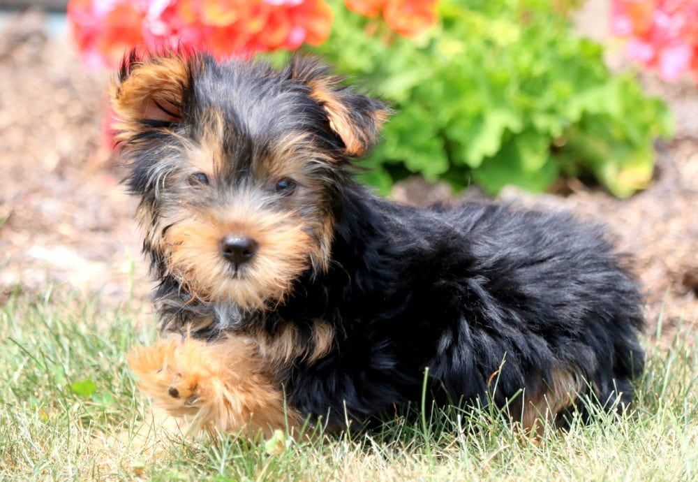 Bubba Yorkshire Terrier Puppies Yorkshire Terrier Yorkie Puppy