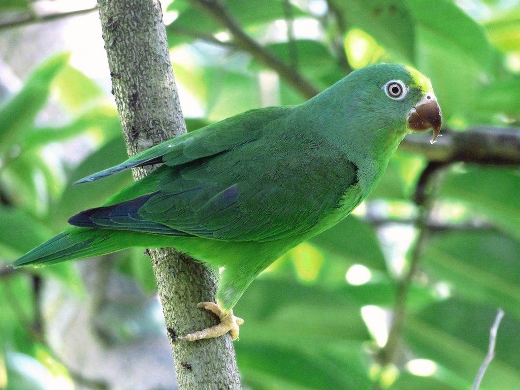 Tui Parakeet (Brotogeris sanctithomae) Brazil Parakeet