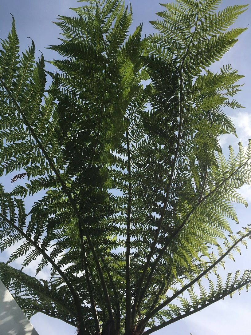 Stunning 10ft Dicksonia Antarctica Tree Fern With 7ft Fronds Dicksonia Antarctica Tree Fern Ferns For Sale