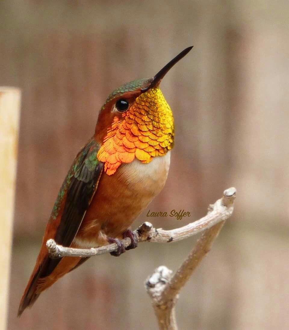 Male Allen's hummingbird. My Hummingbird Heaven. Pet