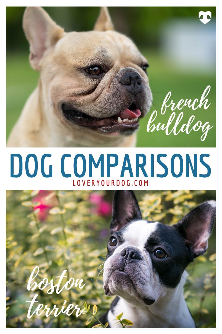 Boston Terrier Vs French Bulldog Dog Breed Comparison In 2020 French Bulldog Bulldog Dog Comparison