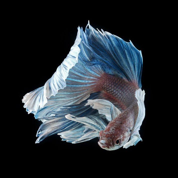 Strikingly beautiful siamese fighting fish dance in dark for Prettiest betta fish