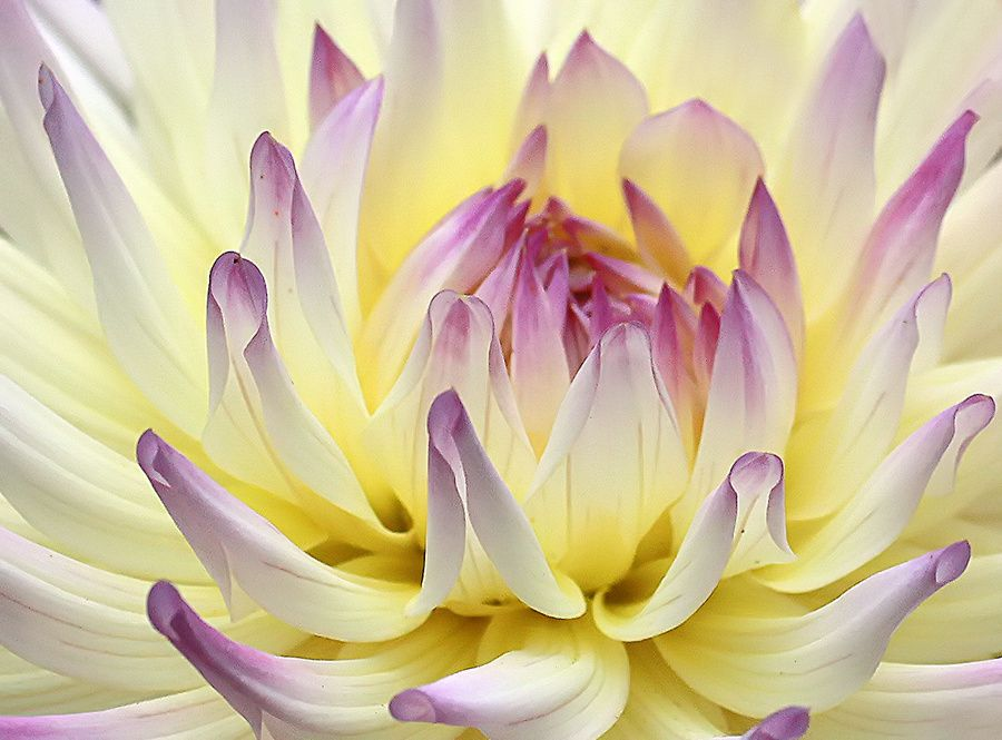 dahlia candy 5 by TruemarkPhotography