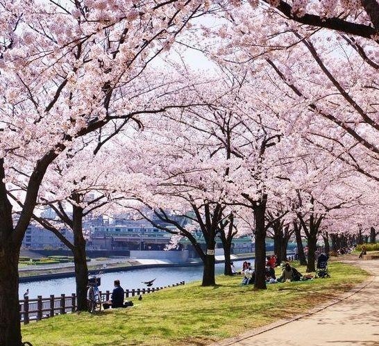 Cara Menanam Bunga Sakura Dari Biji Http Bibitbunga Com Blog Cara Menanam Bunga Sakura Dari Biji Menanam Bunga Bunga Sakura Menanam