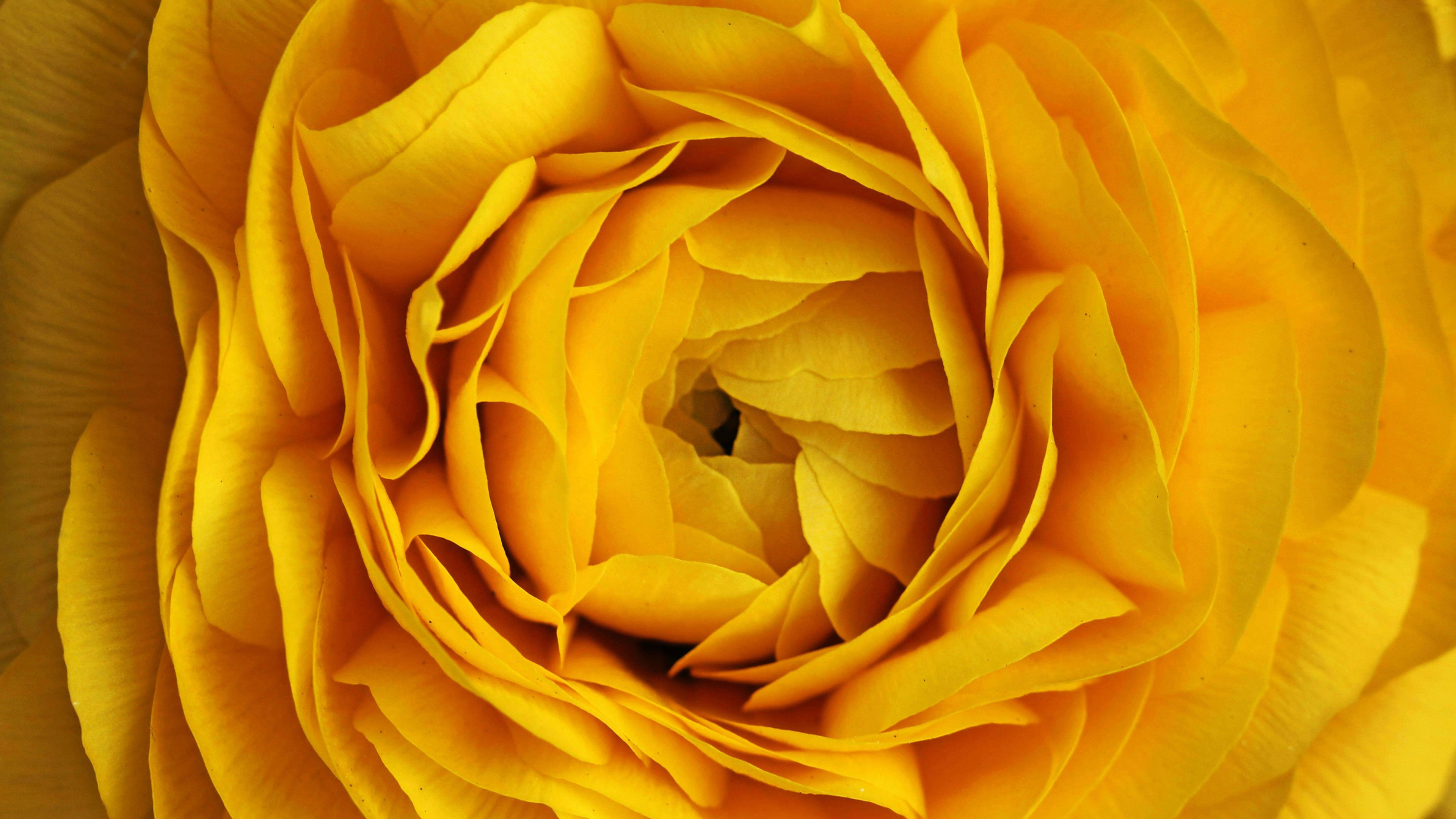 Ultra HD Wallpaper, flower 4K Yellow Rose Flower HD