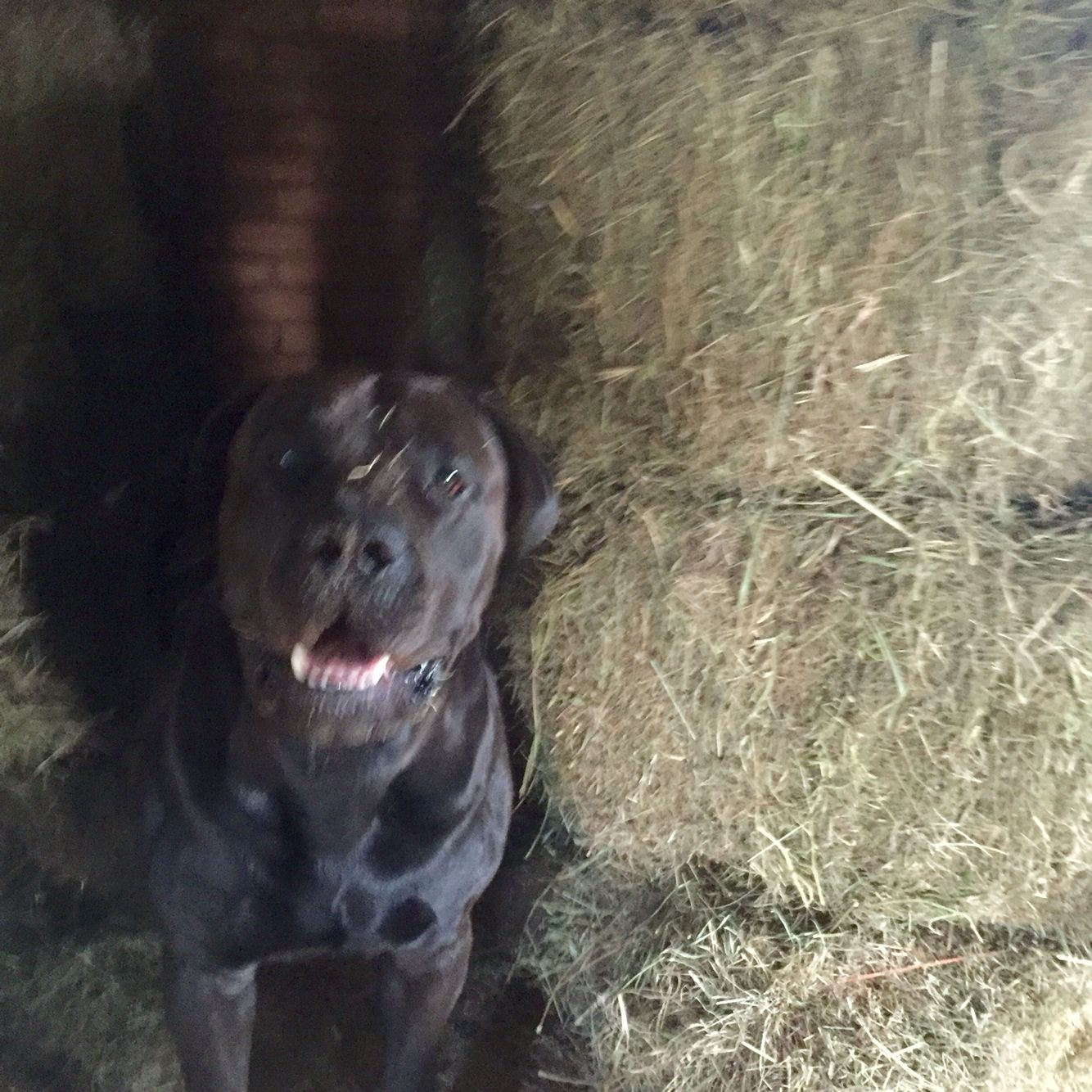 Amazing Boerboel Black Adorable Dog - 5e2a2db6ad9d8e30265684becc91a0fb  Pic_577751  .jpg