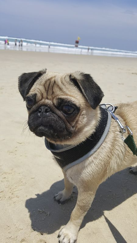 Pin By Elisa Smalley On Pugsleys Pugs Cute Pugs Dogs