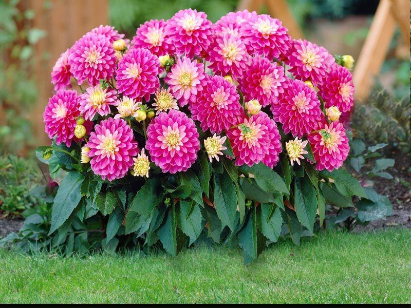 Dahlia Hybrids   Google Search _Garden Dahlia [244