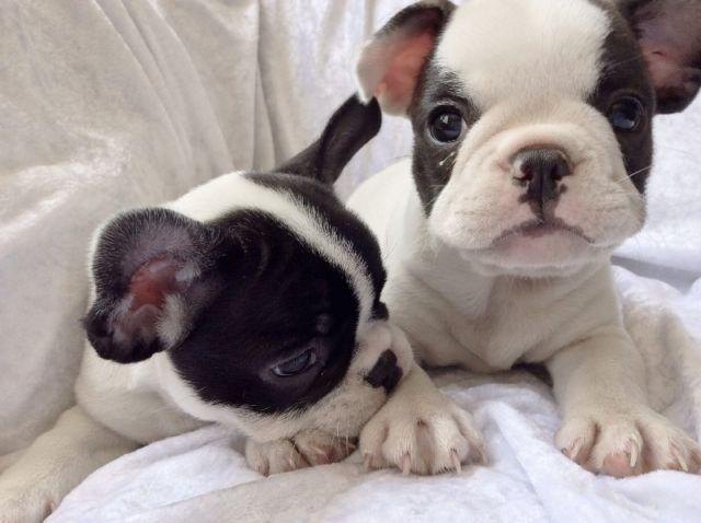 French Bulldog Puppies French Bulldog Puppies