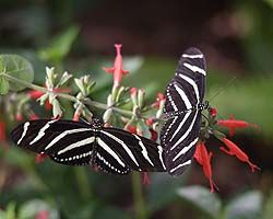 Butterfly Exhibit through May 13th at Desert Botanical Gardens.