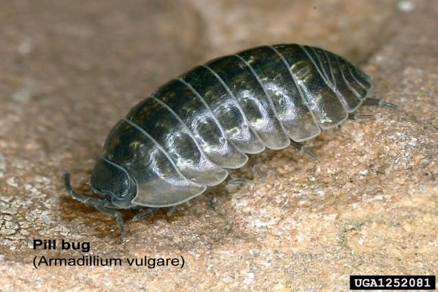 15 Fascinating Facts About Pill Bugs Pill Bug Potato Bugs Woodlice