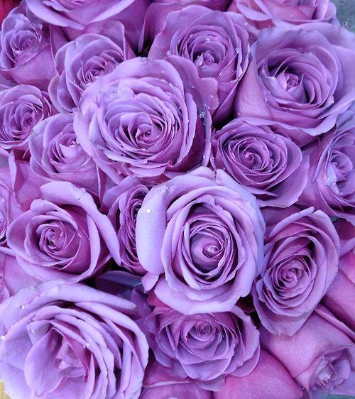 purple roses - Google Search