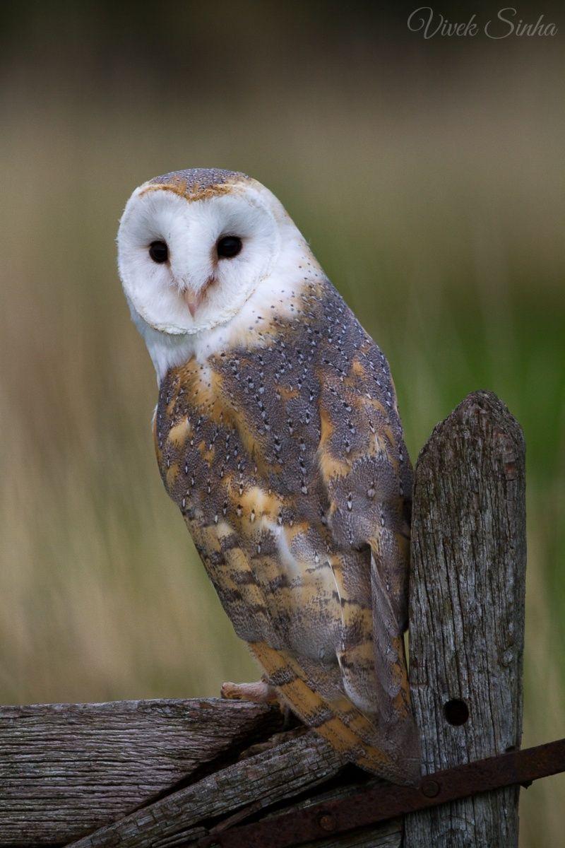 Barn Owl by Vivek Sinha on 500px Barn owl, Owl, Owl photos