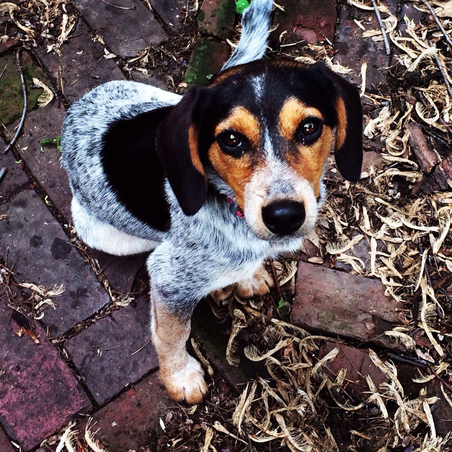 Ruby 3 Beagle Blue Heeler Mix Beaglesmix Beagle Mix Beagle