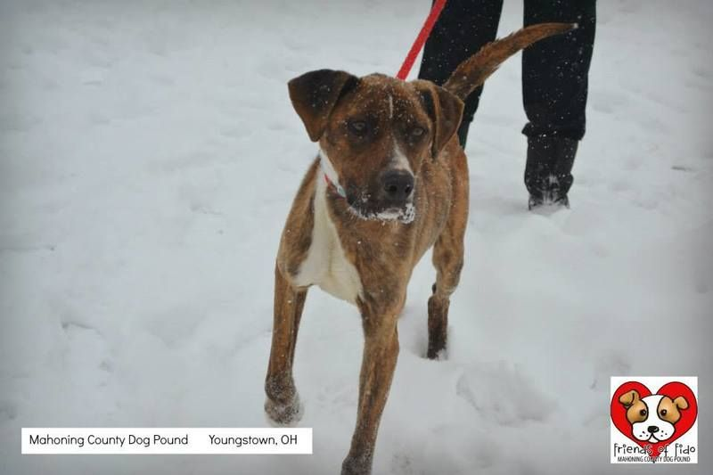 Adopt 97 Percy 2 On Plott Hound Dog Pounds Dogs Of The World