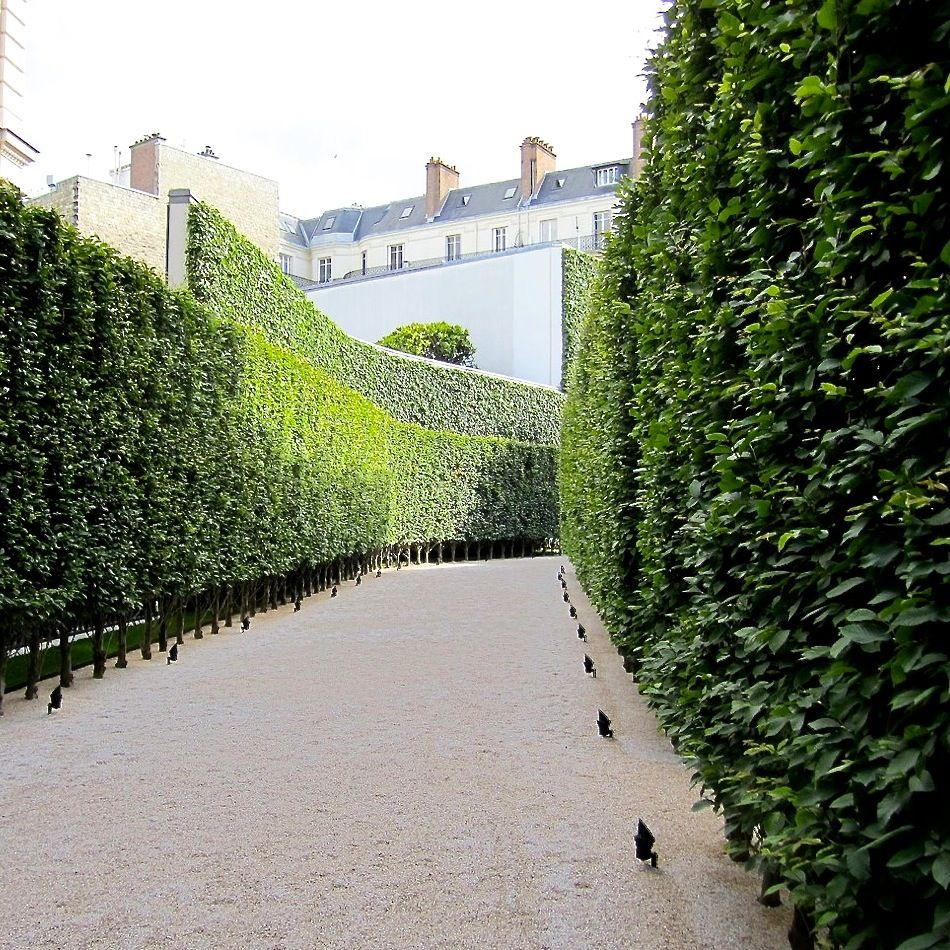 Hornbeams in Paris