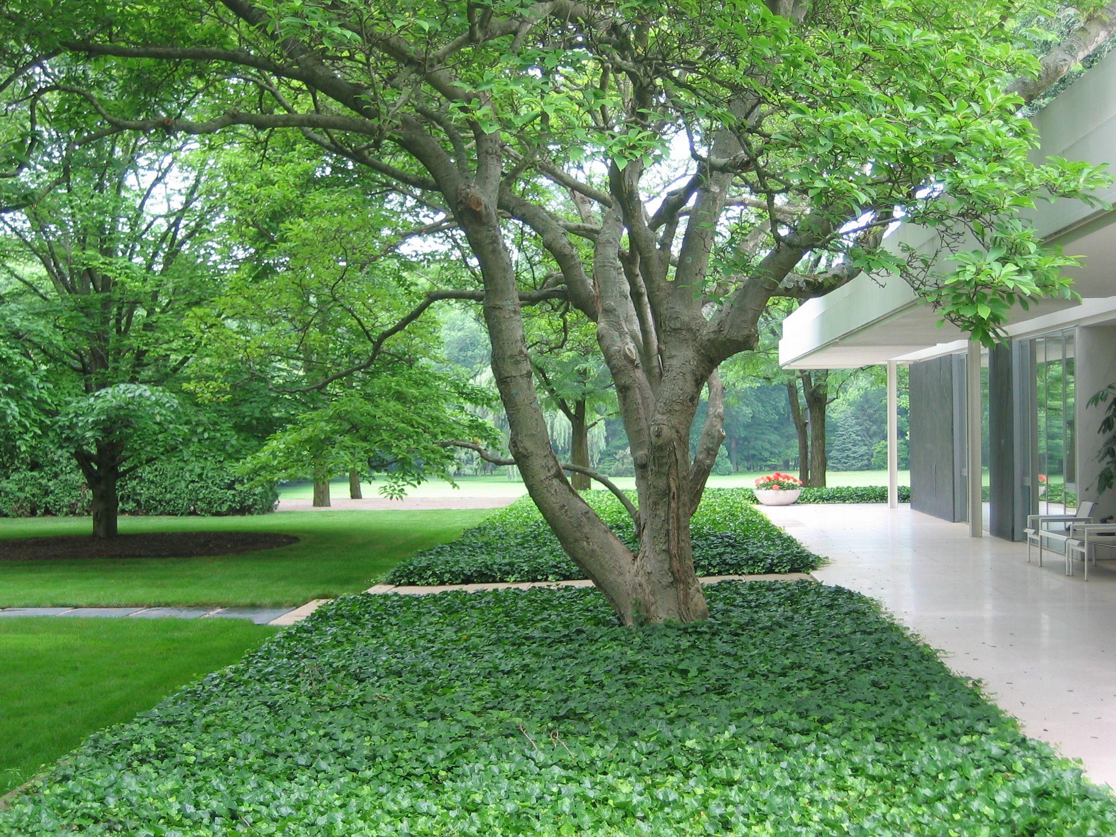Tapis de lierre couvre sol ombre pinterest lierre tapis et jardins - Lierre rampant couvre sol ...