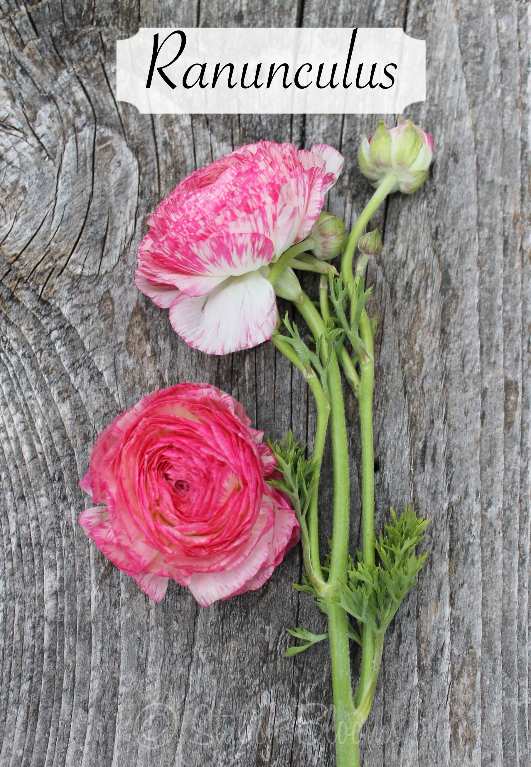 Hot Pink Variegated Ranunculus Flower Guide Types Of Flowers Floral Design Classes