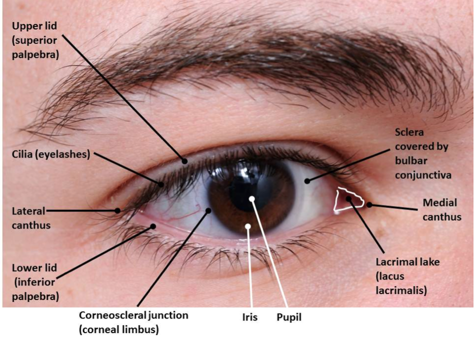 Lateral Canthus Google Search Ear Nose Eye Mouth Pinterest