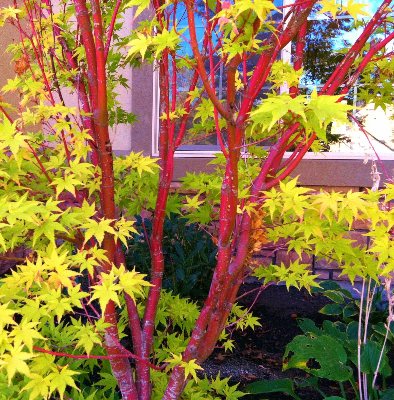 Acer palmatum Sangokaku Coral Bark Japanese Maple Design