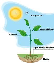 13 - Si las plantas tienen azúcar, sacarosa para ser precisos, es solamente porque ellas lo requieren para poder desarrollarse. Para vivir, las plantas verdes, es decir aquellas que contienen clorofila, utilizan la luz y gaz carbónico que lo encuentran en el aire y agua de la tierra. Llamamos fotosíntesis, el conjunto de reacciones complejas que permiten a la planta utilizar la energía solar para transformar el carbono, el hidrogeno y él oxigeno en glucido.