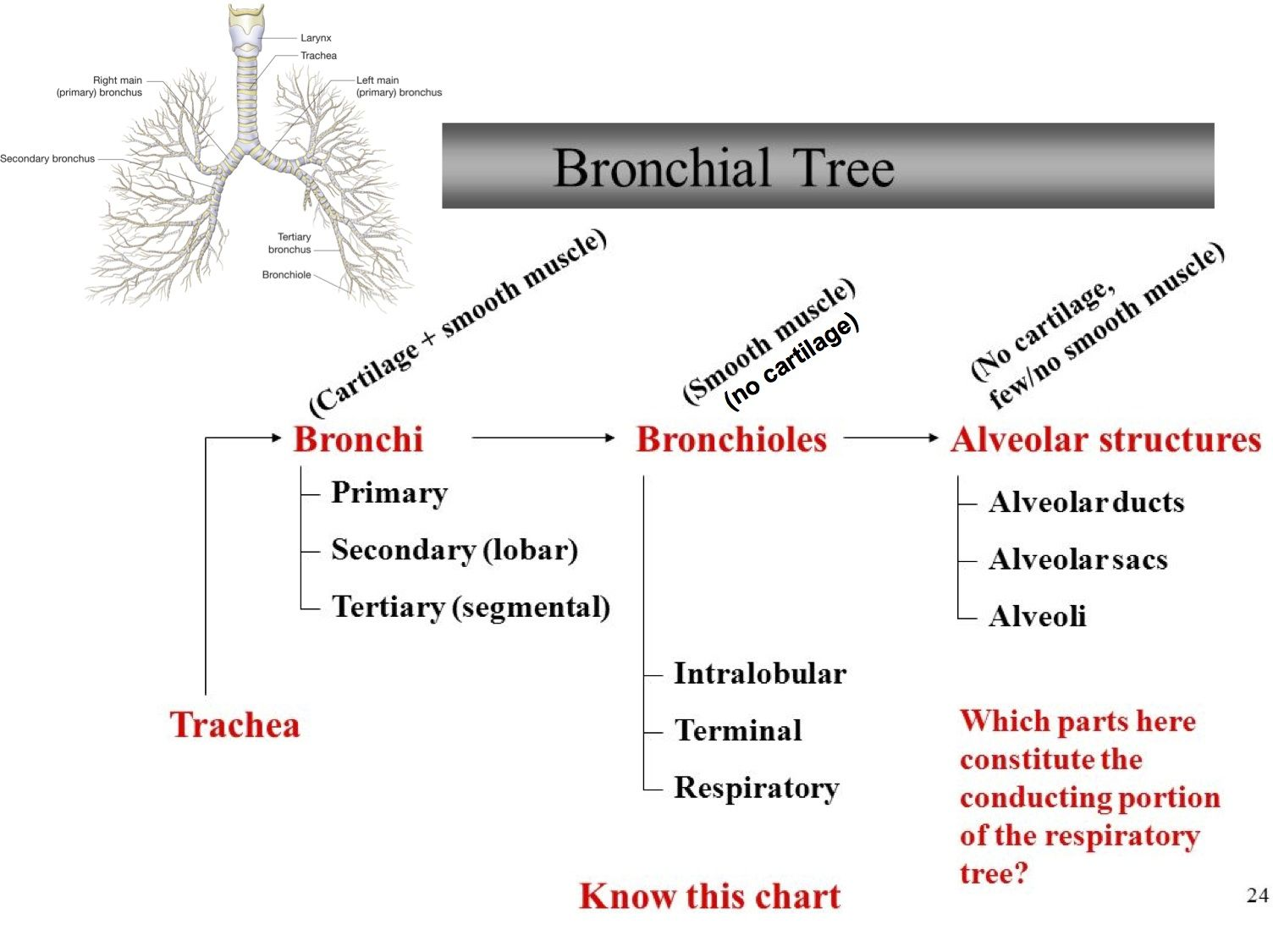 Image Result For Lung With Bronchus Slide Aampp T Lunges