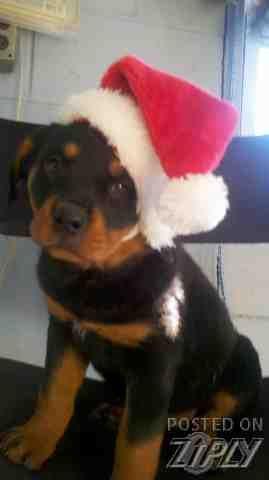 Akc Rottweiler Puppies Johnson City Tn Ziply Classifieds