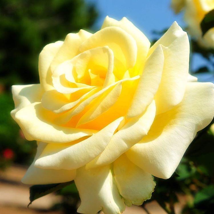 おはようございます♫ 快晴の月曜日の朝です�� 素敵な一週間になります様に�� ✴︎ 優しい色の薔薇の花が咲いていました〜��✨ ✴︎ #roses #flowerstagram #flowers #flowerphoto #flowerslovers #flower #plant #naturegram #naturelovers #はなまっぷ #花 #ハナ #はな #ばら #薔薇 #薔薇の花 #優しい色の花 #月曜日の朝 http://gelinshop.com/ipost/1519919687566138984/?code=BUX1ucogJ5o
