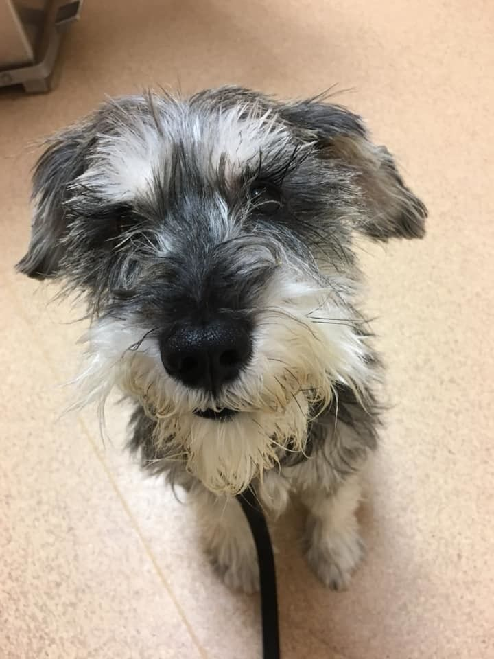 Adopt luke on with images schnauzer dogs
