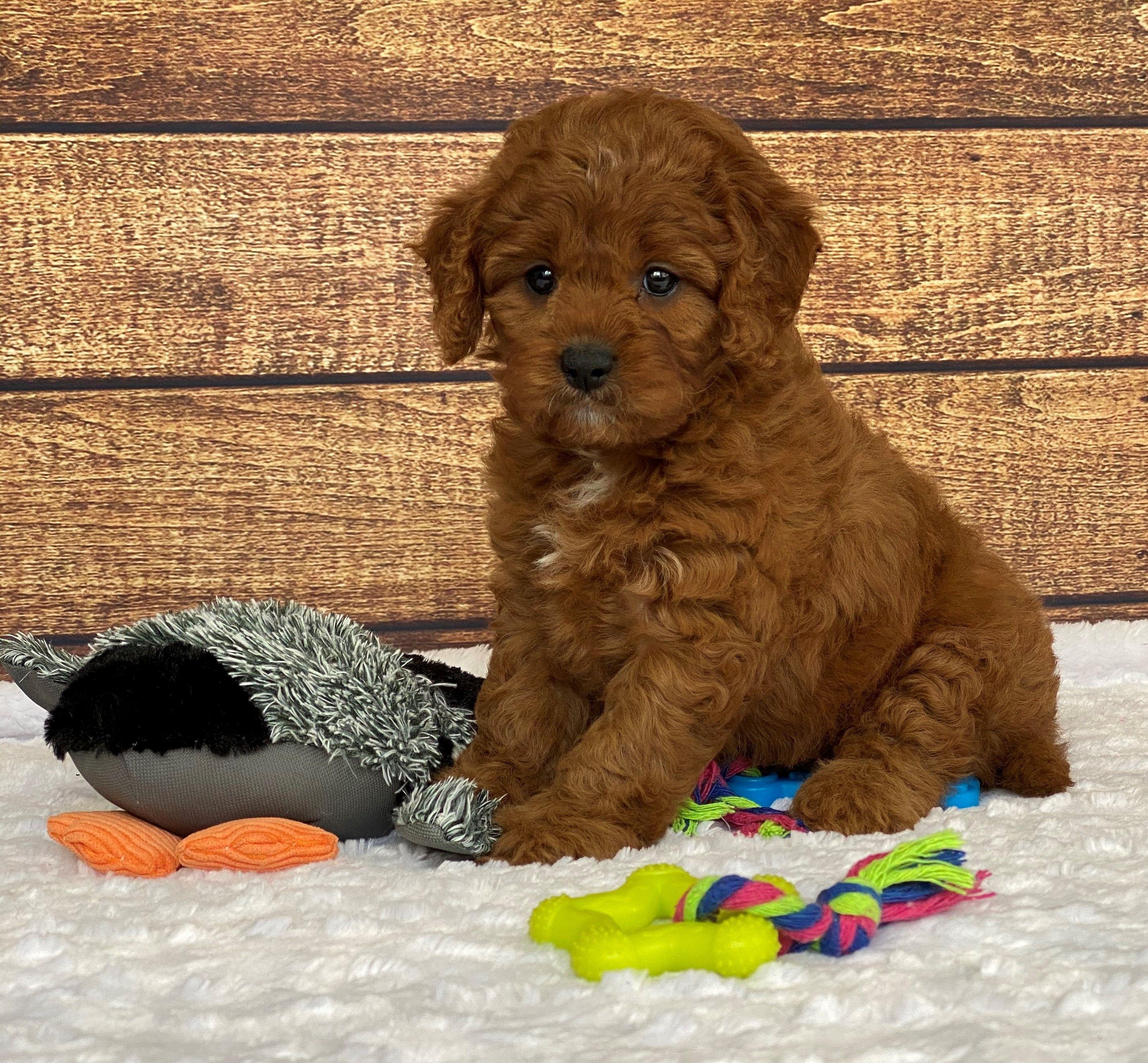 Loyal Cavapoo Puppies, Cavapoo puppies, Lancaster puppies