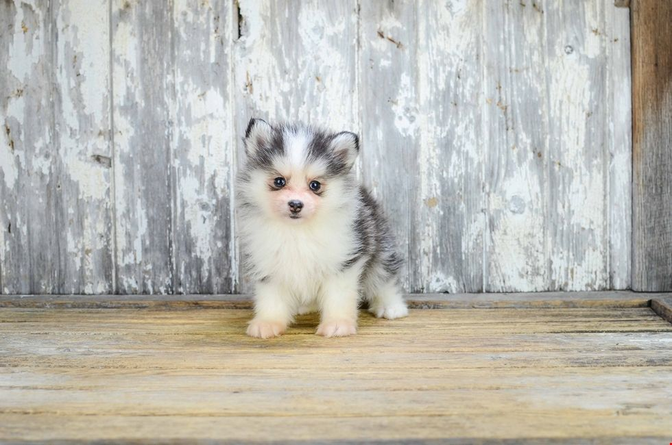 Pomsky Puppies for Sale and Adoption in Ohio