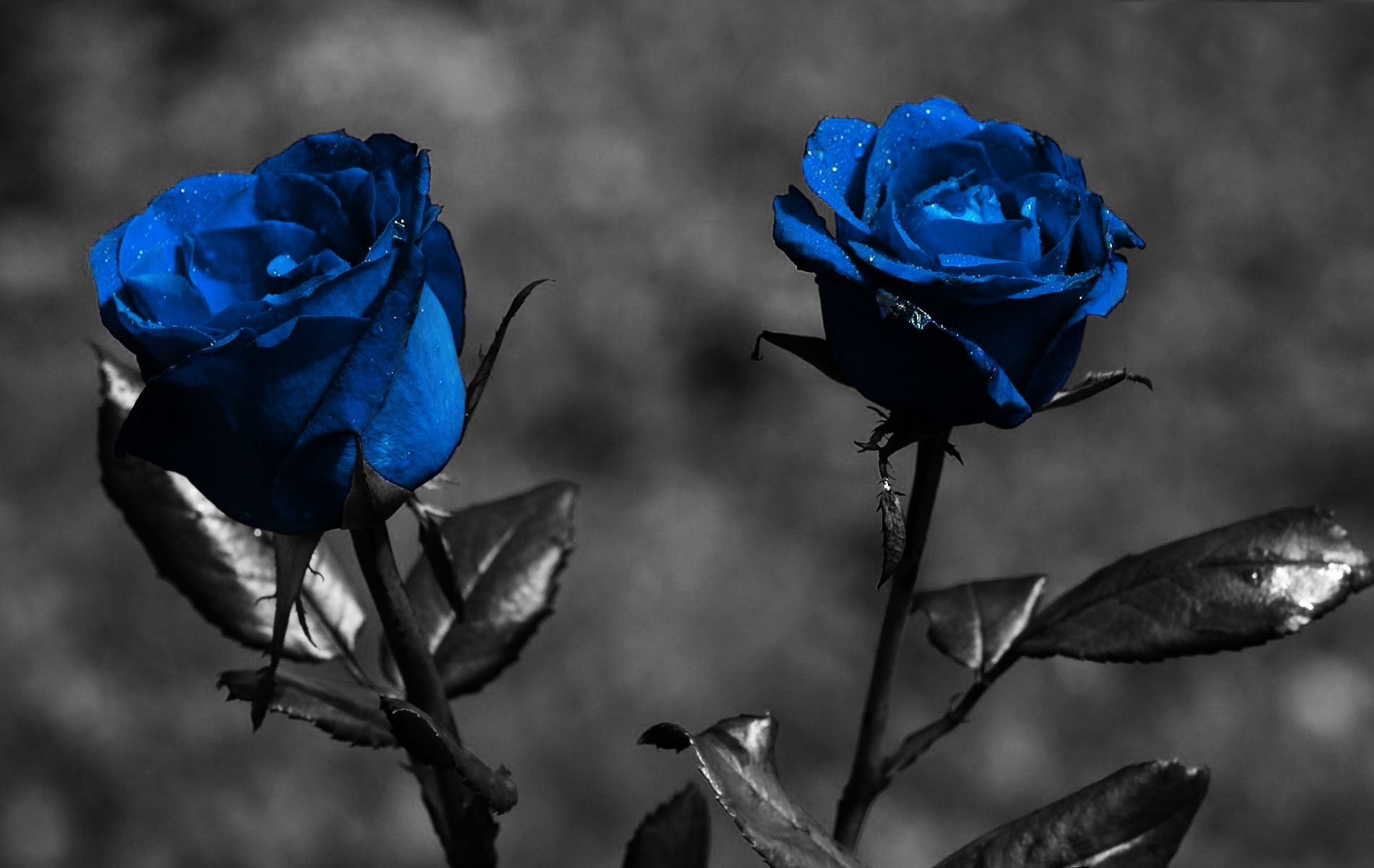 Widescreen Desktop Wallpaper Dark Flower In 2020 Blue Roses Wallpaper Rose Flower Wallpaper Black Rose Flower