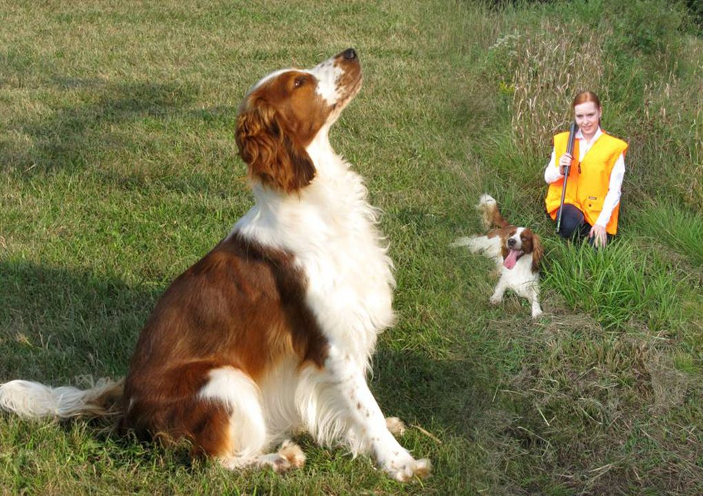 Upland Creek Is A Licensed Breeder Of Welsh Springer Spaniels Of Impeccable Award Winning Pedigree Welsh Springer Spaniel Springer Spaniel Spaniel