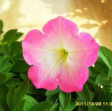 Types Of Morning Glory Flowers Free Shipping Flower Bonsai Morning Glory Seeds Balcony Flower Petunia Morning Glory Flowers Seeds Online Morning Glory Seeds