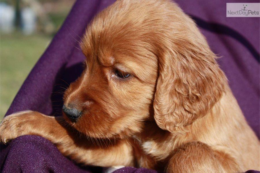 Cute Irish Setter Puppy Irish Setter Dogs Irish Setter Puppy Irish Setter