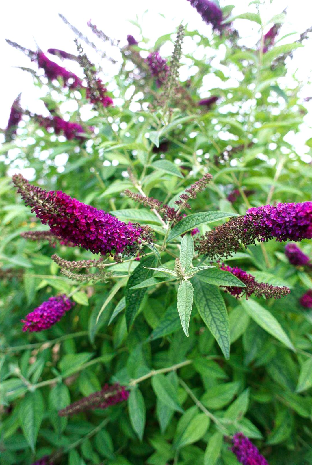 What To Prune When In Your Garden For The Healthiest Plants Garden Shrubs Plants Pruning Shrubs