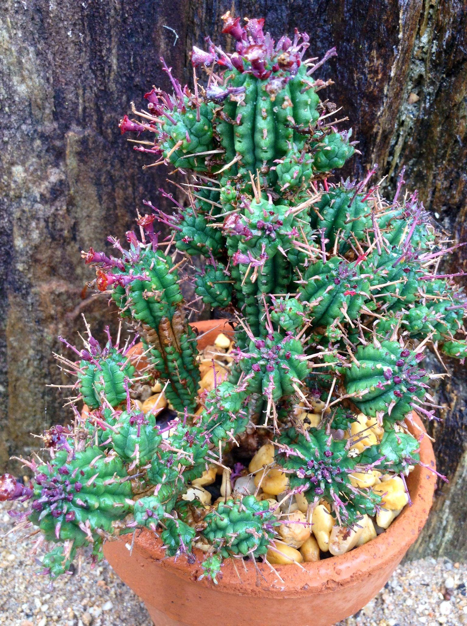 Euphorbia horrida cactus cactus plants cactus garden