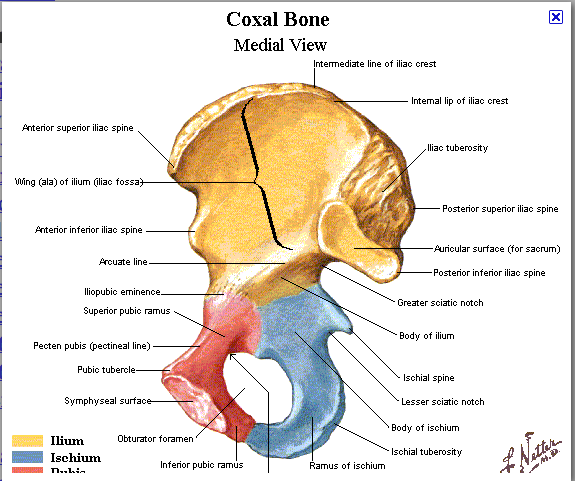 Pelvis Coxal Anatomy Bones Anatomy And Physiology Study Flashcards