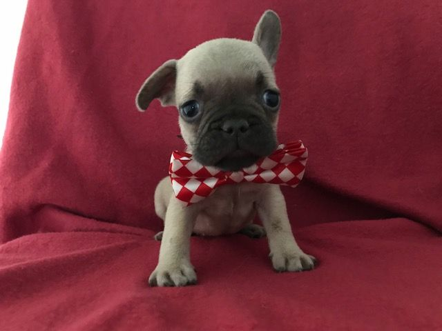 Miniature French Bulldogs For Sale Precious French