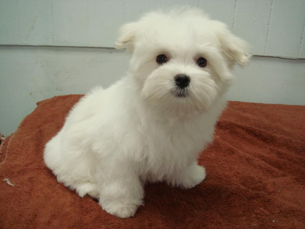 Maltese Puppy Haircut Styles Google Search Maltese Puppy Maltese Dogs Care Teacup Puppies Maltese