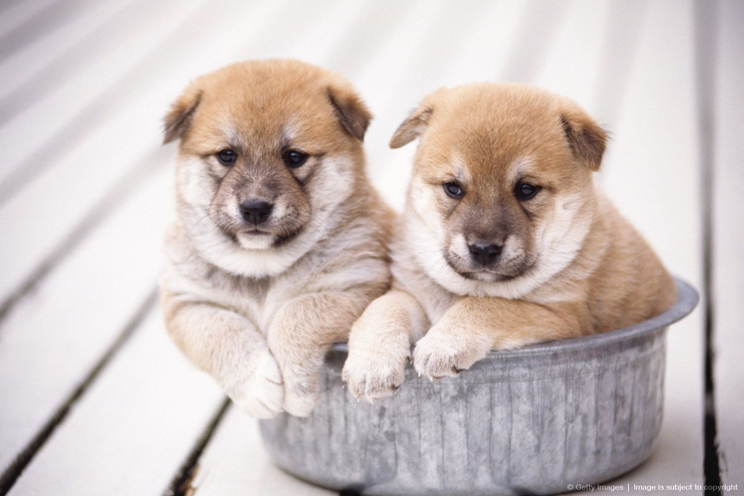 Image detail for Shiba Inu puppies in aluminum tub