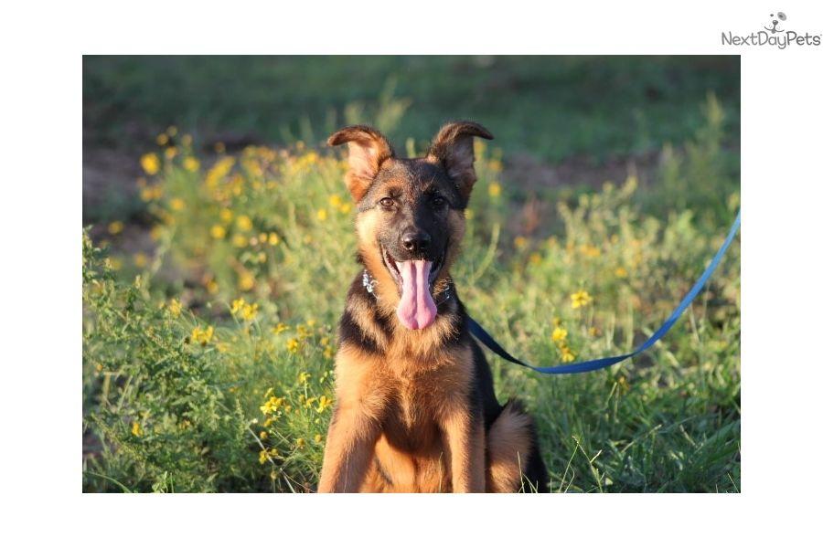 Scarlet German Shepherd Puppy For Sale Near Austin Texas A68a3c59 4bf1 Puppies Retriever Puppy Smart Dog